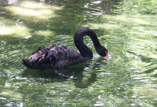 Such adaptations are about all the swans need for survival  as they have no  natural predators. Black Swan  WhoZoo