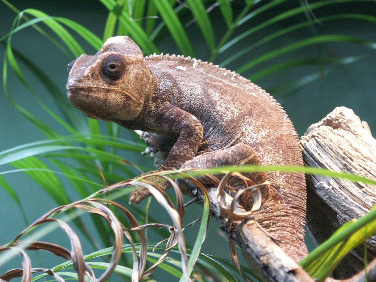 Oustalet's Chameleon: WhoZoo