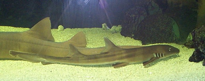 Black Banded Cat Shark Egg