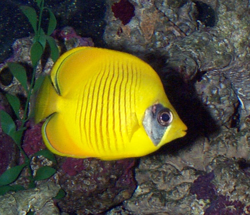Golden butterfly fish whozoo for Flying fish name