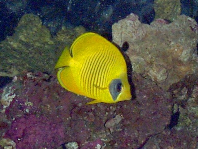 Golden butterfly fish whozoo for Flying fish fort worth