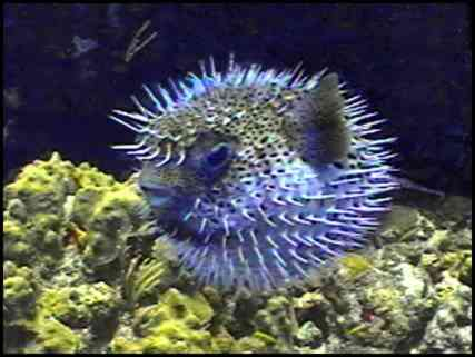 Puffer for Puffer fish puffing