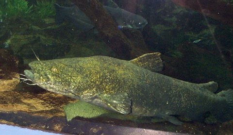 TWRA - Tennessee Wildlife Resources Agency - Flathead Catfish
