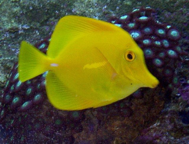 Yellow tang whozoo for Yellow tang fish