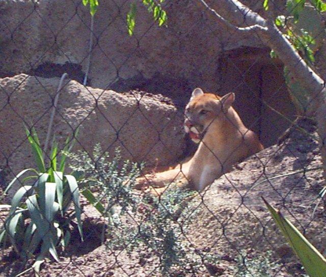 Mountain Lion (Cougar): WhoZoo