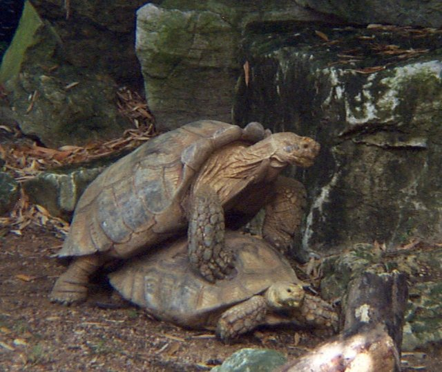 African Spurred Tortoise Whozoo