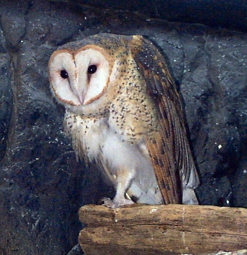 Barn Owl Whozoo