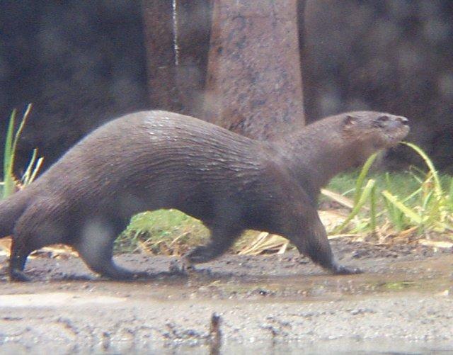 Whozoo River Otter