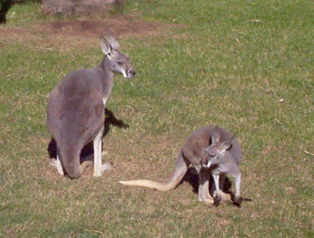 red kangaroo whozoo