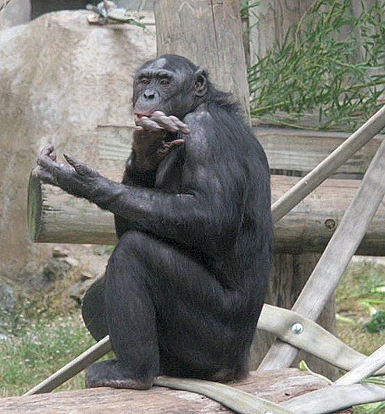 Bonobos Whozoo