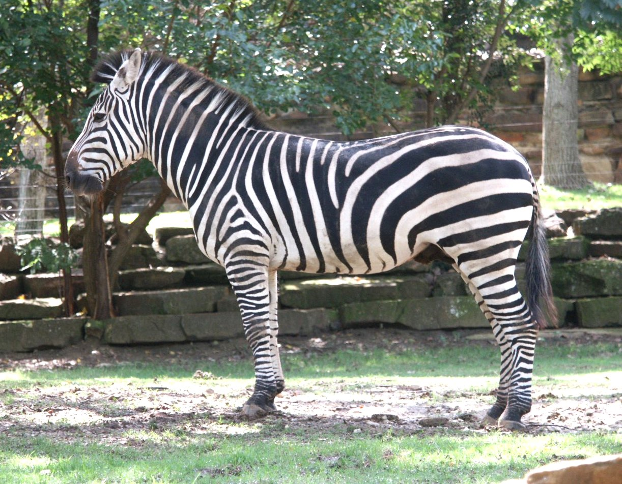 Zebra Pictures Images