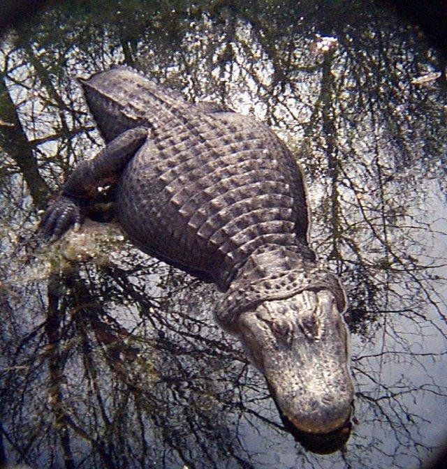 American Alligator: WhoZoo