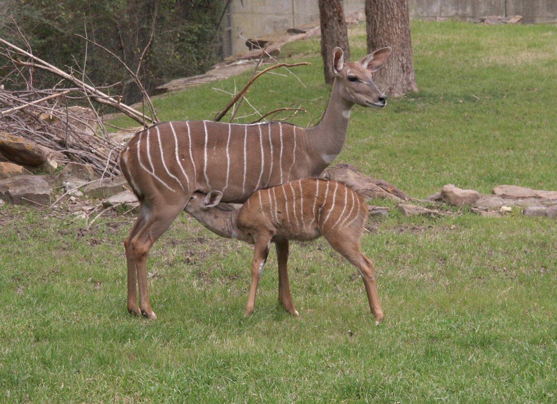 Lesser Kudu WhoZoo