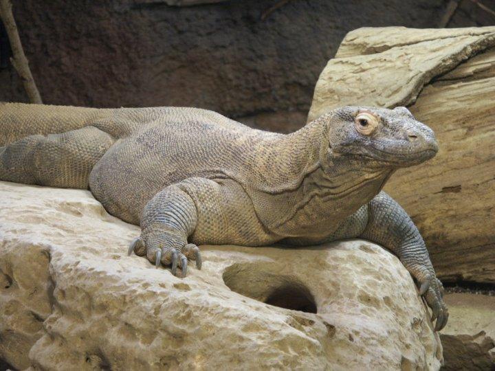 Monitor lizard vs komodo dragon
