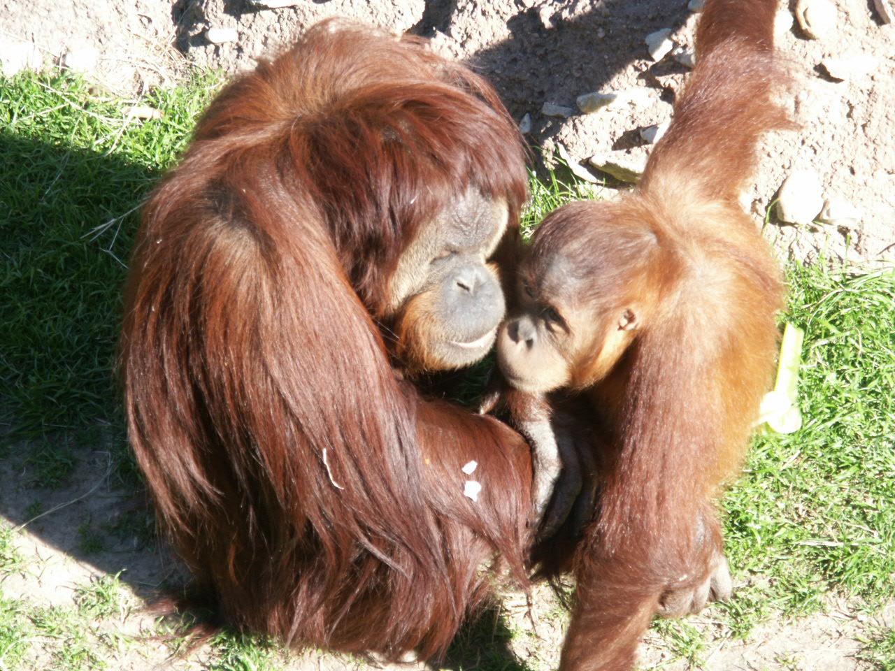 Orangutans sex