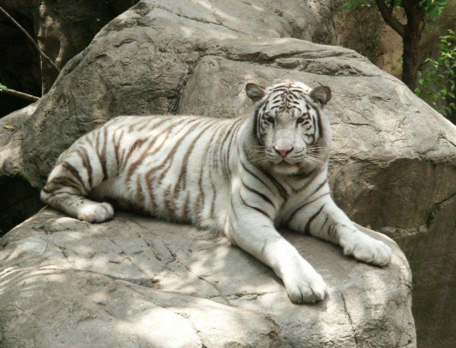 White Bengal Tiger WhoZoo