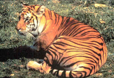 the physical description and settlement of bengal tigers an endangered species Status: endangered known as: malayan tiger description until fairly recently (2004) the malayan tiger was simply considered to be an indochinese tiger habitat: while many tiger species enjoy living in densely forested areas.