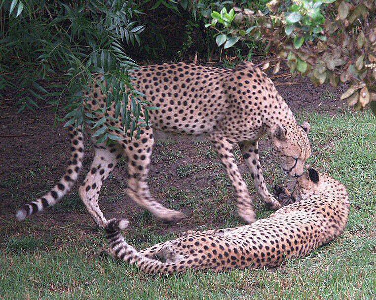 Cheetahs: WhoZoo