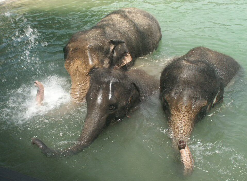 Asian Elephants: WhoZoo
